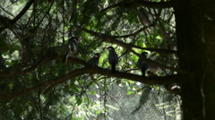A Few Java Sparrows on a Fir Branch Stock Footage