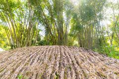 bamboo grove in backlight - stock photo