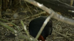 Close up of a Crested Partridge Male in a Zoo Stock Footage