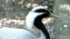 Demoiselle Crane Stock Footage