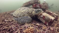 Green Turtle on a reef - stock footage