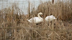 Swans Preening and Nest Building Stock Footage