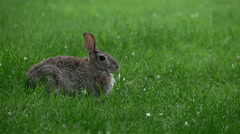 Cottontail Rabbit Justified Left Stock Footage