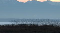 Stock Video Footage of Shorebirds, birds, flock, fly, Sandpipers, Whimbrel, Dunlin, 4K
