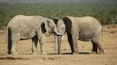 African elephants fighting, Addo Elephant National Park, South Africa Stock Footage