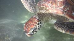 Underwater view of a swimming hawksbill sea turtle, Zanzibar island Stock Footage