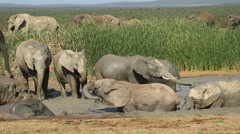 African elephants playing in water, Addo Elephant National Park, South Africa Stock Footage