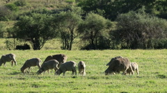 Merino sheep grazing on lush green pasture, Karoo region, South Africa Stock Footage