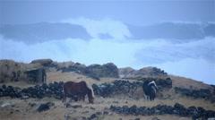 Horses grazing in front of huge waves, heavy sea storm surge, Hafnir, Iceland Stock Footage