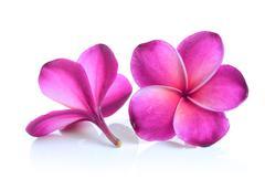 Red frangipani flower isolated on white background Stock Photos