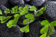 beautiful spa concept of green twig adiantum fern on zen basalt stones with d - stock photo