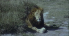Lion in Afrika 16mm 60s 50s - stock footage