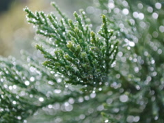 Fir-tree and Christmas. Related clips are in my portfolio in 1920x1080. Stock Footage