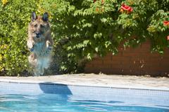 Dog jumping into the swimming in the pool Stock Photos