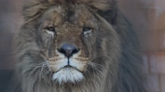 Stock Video Footage of Male Lion