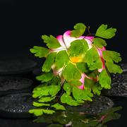 spa concept of green branch adiantum fern, plumeria flower with drops on zen  - stock photo