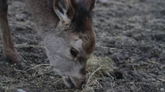 Stock Video Footage of Small Roe Deer eating grass