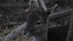 Stock Video Footage of Small Roe Deer laying
