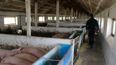 Forage feed for pigs Stock Footage