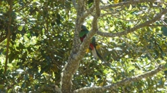 Quetzal Long tail Stock Footage