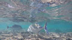 Following Rainbow Colored Parrotfish Swimming Over Coral Reef, Hanauma Bay, Oahu Stock Footage