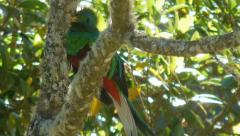 Quetzal eating Stock Footage