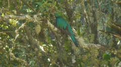 Quetzal looking everywhere Stock Footage