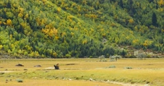 4k tibet woman pick up dung as fuel on the foot of mountain & grassland. Stock Footage