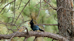 Steller's jay eating a peanut in a pine tree Stock Footage