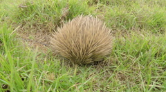 Echidna looking for food in the bush Stock Footage
