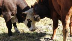 Bulls fight Stock Footage