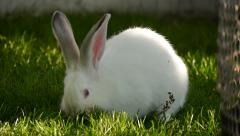 white rabbit on green grass - stock footage
