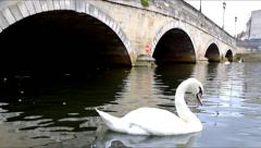 White swan on a river with stone bridge behind Stock Footage