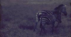 Zebra Afrika 16mm 60s Stock Footage