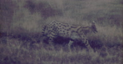 Serval Cat Big in Afrika 16mm 60s - stock footage
