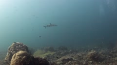 White Tip Reef Shark and diver - stock footage