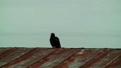 Turkey vulture on rusty tin roof Stock Footage
