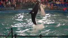Two belugas and dolphin whales jumping out of water. Stock Footage