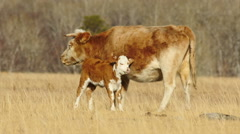 HD Red Cow Feeding Calf in the Wilderness Stock Footage