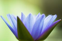 Hardy waterlily Stock Photos