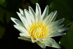 hardy waterlily - stock photo