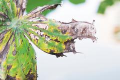lotus leaf die - stock photo