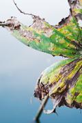 Lotus leaf die Stock Photos