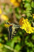 Monarch butterfly danaus plexippus Stock Photos