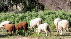 Flock of sheep grazing E Stock Footage