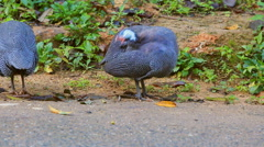 Helmeted Guineafowl eat food on the ground Stock Footage