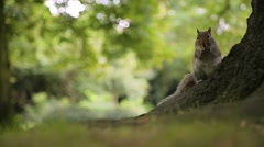 Squirrel gnawing a nut, feeeding squirrels  in city park Stock Footage