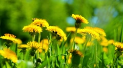 Closeup of bright dandelions in green grass. spring flowers. flower landscape Stock Footage