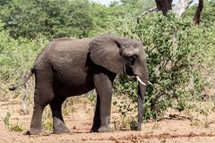 african elephant in chobe national park - stock photo