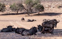 Wild (connochaetes taurinus) blue wildebeest gnu Kuvituskuvat